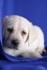 Piękny labrador retriever dla wspaniałej rodziny.